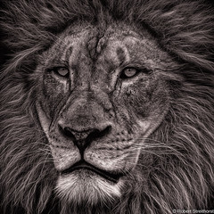 The Mane Guy (Robert Streithorst) Tags: zoosofnorthamerica john cincinnatizoo robertstreithorst mane lion
