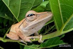 Four-lined tree frog (Polypedates leucomystax) - DSC_9843 (nickybay) Tags: macro singapore jalansamkongsi polypedates leucomystax rhacophoridae fisheye cctv wideangle