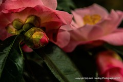 Buds and Blooms (T i s d a l e) Tags: tisdale blooms buds camellias cameilliajaponica winter january 2017 easternnc