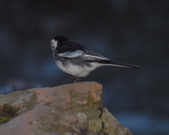 2016_12_0483 (petermit2) Tags: piedwagtail wagtail clumberpark clumber sherwoodforest sherwood nottinghamshire nationaltrust nt