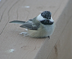 #73 GGO Chase Part 2 Black-capped Chickadee, Poecile atricapilla, 40 degrees below zero, Aitkin Minnesota, 1/20/2011, Photo by Wes (wesbird72) Tags: minnesota aitkin aitkinminnesota bird birds birder birding birdsofminnesota birdingminnesota chickadee cap capped black blackcappedchickadee thrush varied variedthrush cold colder coldest zero below belowzero sow ice frost frosty frostcovered