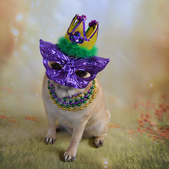 Bailey Puggins Is Ready For The Mardi Gras Party! (DaPuglet) Tags: pug pugs dog dogs mardigras fattuesday parade party mask masquerade crown beads costume pet pets animal animals gold purple green celebration colors coth5 tecccccccc