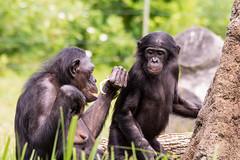 Another Lesson From the Elder (John Greg Jr) Tags: columbus ohio usa animals zoo unitedstates mammals bonobo primates columbuszooaquarium camera:make=nikoncorporation exif:make=nikoncorporation exif:lens=15005000mmf5063 exif:focallength=300mm exif:aperture=ƒ80 camera:model=nikond7100 exif:model=nikond7100 exif:isospeed=640