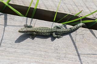 IMG_5619 Common Lizard