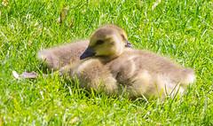 Siblings (Pauline Brock) Tags: geese goslings canadagoslings birds babybirds waterfowl babygeese animals nature spring flickrfriday myprecious