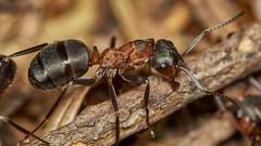 wood ant, Formica rufa, worker (David_W_1971) Tags: ants raynox dcr150