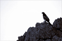 Hawk in black and white (Explored) (dwight g) Tags: white black rock canon hawk ps 300 topaz outcropping xti