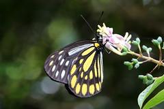 Aporia agathon moltrechti (male)  () (YoyoFreelance) Tags: aporia agathon moltrechti