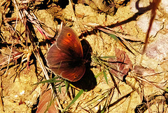 Meadow Brown, Maniola jurtina, basking on the forest floor at Wooton (Fr Paul Hackett) Tags: butterfly hampshire hoiday 2015