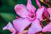 Fiore di Oleandro rosa (Eleonora Cacciari) Tags: pink flower canon eos rosa fiore efs emiliaromagna pianta oleandro velenoso 1200d eos1200d