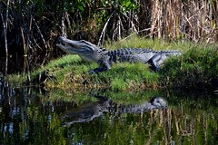 Catching Some Rays (ACEZandEIGHTZ) Tags: nature nationalpark nikon reptile wildlife alligator everglades won mississippiensis d3200 animalsworld frameit saariysqualitypictures greatshotss photographyforrecreation rainbowofnature infinitexposure