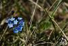 Fiori blu sulla Majella - Abruzzo - Italy