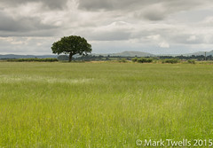 Field of Grass (Mark Twells) Tags: england unitedkingdom gb annscroft thattree