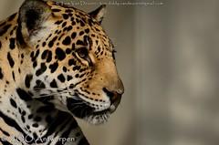Jaguar - Panthera Onca (MrTDiddy) Tags: female cat mammal zoo big kat feline bigcat antwerp jaguar zo antwerpen yello zooantwerpen grote onca panthera vrouwelijk zoogdier grotekat
