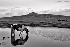 Pony and Sharpitor (pike head) Tags: uk england olympus pony devon dartmoor e30 southdevon sharpitor photoengine oloneo