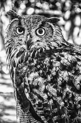 Grand Duc (SMb - Deep Emotion) Tags: bw animal nb grandduc extrieur hibou dsaturation d5100 sandrambphotography smbphotographe