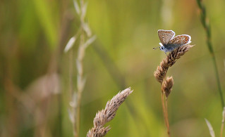 Common Blue II
