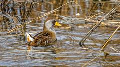 Sora (Bob Gunderson) Tags: alamedacounty arrowheadmarsh birds california eastbay northerncalifornia porzanacarolina rails sora