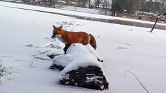 Trail Cam Success (Lake Effect) Tags: 1stweekjanuary 2017 day locationone trailcam fox red frozen river elkhart indiana stjosephriver elkhartcounty