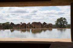 DSC_5782 (mylesm00re) Tags: africa burchellszebra equusquaggaburchellii limpopo welgevondengamereserve za mhondorogamelodge sebra southafrica waterhole