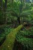 Fallen (Xenedis) Tags: australia bluemountains bush cathedralofferns fern forest landscape leaves log moss mountwilson mtwilson trees newsouthwales nsw