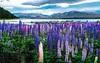 lake tekapo (Locomotive-DXC New Zealand) Tags: lake tekapo