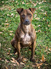 Little Prince (Maggie McGunigle) Tags: animal pet dog puppy 2 years old doggy outdoor fall winter brindle mix mutt rescue pitbull jack russell terrier park