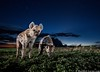 Hyenas at Dusk (Burrard-Lucas Wildlife Photography) Tags: africanwildlife hyena zambia zambiawildlife