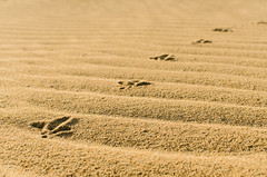 Pasito de pájaro (nfaraldos) Tags: huellas pájaro bird 35mm fuerteventura islascanarias canaryislands corralejodunas dunes nikon desierto dessert