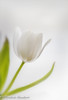 Snow white (frederic.gombert) Tags: tulip light white flower plant bunch solo flowers color green macro nikon d800