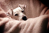 And to all, a good night ... (oldogs) Tags: dog jackrussell terrier white sleepy t6s
