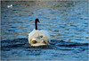 Not All That It Seems (Mabacam) Tags: 2017 london kingston river thames riverthames swans bird nature lost offcouse