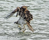 Osprey and Mullet Moment (Jeff Clow) Tags: 2017 january jeffclowphototours mothernature southpadreisland texas usa beautyinnature birding birds offthebeatenpath travel wild wildlife osprey predator catch action lagunamadrebay thecatch
