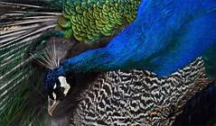 so vain (me*voilà) Tags: namibia farm animal bird peacock feathers patterns preening