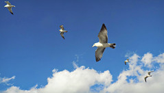 Voyagers with Wings (Robert S. Photography) Tags: birds gulls wings flight sky clouds scenery nature caesarsbay newyork brooklyn nikon color coolpix l340 iso80 january 2017