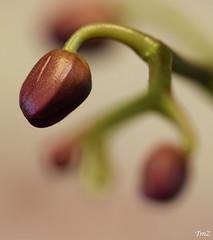 Bouton d'orchidée (thierrymazel) Tags: orchidée orchid fleur flower profondeur de champ bokeh