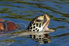 Young Green Sea Turtle - Maui (AlaskaFreezeFrame) Tags: sea turtle ocean lagoon green hawaii vacation canon 70200mm nature outdoor outdoors wildlife alaskafreezeframe swimming maui cheloniamydas greenseaturtle seaturtle cheloniapacific water waves closeup portrait