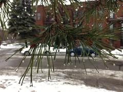 (Espykrelle) Tags: sapin arbre gouttes gouttelettes drops droplets fir urbannature natureurbaine iphone focus pluie rain