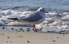 Black Headed Gull (Julian Chilvers) Tags: bird blackheadedgull gull water pooleharbour foam sand