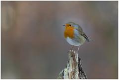 European Robin - Roodborst  (Erithacus rubecula) (Martha de Jong-Lantink) Tags: 2017 erithacusrubecula europeanrobin fotohutgooi robin roodborst roodborstje tuinvogels vogel vogels