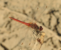 Red-veined Darter (Sympetrum fonscolombii) Male (Rezamink) Tags: sympetrumfonscolombii redveineddarter dragonflies odonata uae
