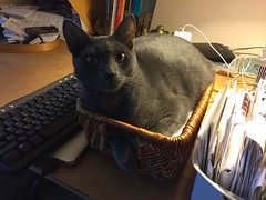 Leo in a Basket (Philosopher Queen) Tags: leo cat kitty chat gato basket graycat bluecat catinabasket