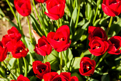 Red (Culinary Fool) Tags: mtvernon tulip brendajpederson skagitvalley flower culinaryfool april farm 2016 dof 2470mm28 red