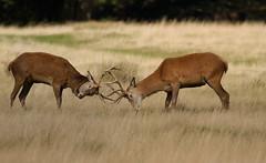 Red-Deer-4574 (Kulama) Tags: reddeer deer animals nature stag rutting nuthatch wildlife woods bracken fern canon7d sigma150600563c