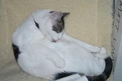 DSC_5743 (judey) Tags: cats kitten twinkle