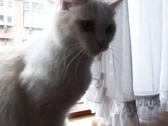 snorharen (PJ Mirella) Tags: windows cats white bennie catsandwindows