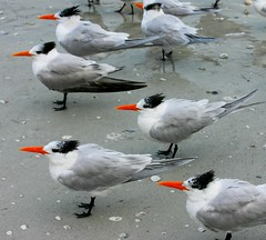 Orange Weather Vanes (Java Cafe) Tags: sea orange seagulls white bird beach nature interestingness bravo funny 500v20f florida royaltern f100 fv5 500v50f fv10 sanibel topf100 50v5f top20favview interestingness15 top20birdshots 6666v66f i500 explore02mar2006 specanimal exploretop20 animalkingdomelite abigfave fbdg