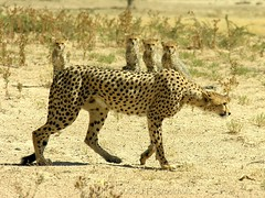 Hunting Lesson (Makgobokgobo) Tags: africa topv111 southafrica mammal cheetah botswana predator ktp acinonyxjubatus acinonyx kgalagadi kgalagaditransfrontierpark nossob nossobvalley tfca animalkingdomelite