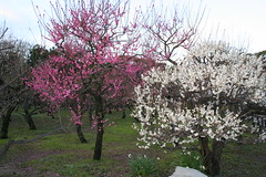 2 march Ume 17 (agiawb) Tags: 2 march ume plumblossoms