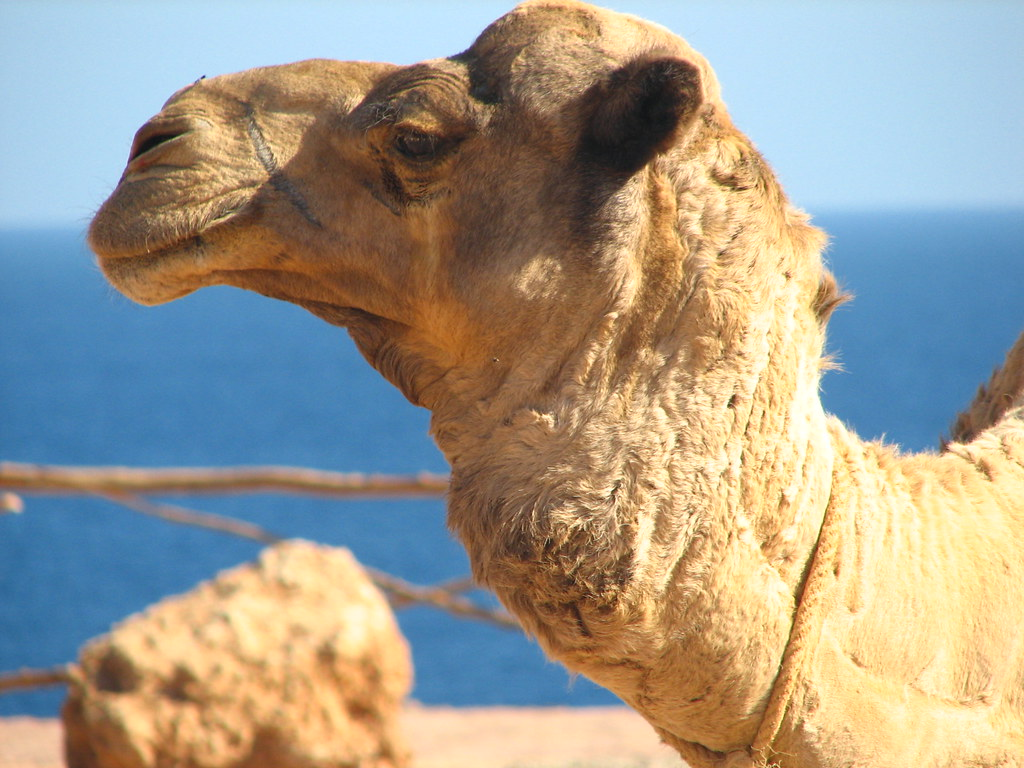 pictures of camels animal photos